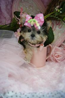 TEACUP MORKIES, TEACUP PUPPIES