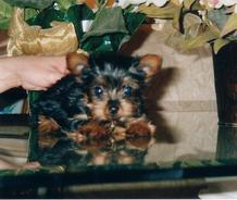 YORKIEBABIES.COM FOR ELEGANT YORKIE PUPPIES THAT WILL MELT YOUR HEART.  SOME OF THE MOST BEAUTIFUL YORKIE PUPPIES IN THE WORLD.  YORKIE BREEDER, YORKIES, Yorkie, Yorkies, Yorkshire Terrier, Yorkshire Terrier Puppies, Yorkie Puppies