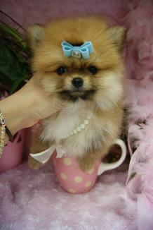POMERANIANS, TEACUP POMERANIANS, TEACUP PUPPIES