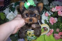 TINY POCKET SIZE YORKIE TEACUPS