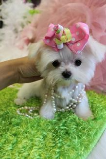 TEACUP MALTESE, MALTESE PUPPIES, TEACUP PUPPIES