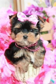 Teacup Puppies Florida Teacup Puppies For Sale Florida Florida