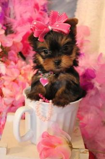 TEACUP YORKIE, TEACUP YORKIES FOR SALE, TEACUP PUPPIES TEXAS