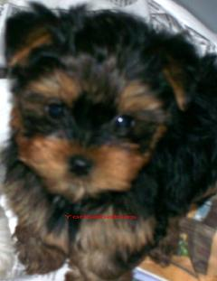 YORKIEBABIES.COM  Elegant, Beautiful Yorkie Puppies That Will Melt Your Heart.  Yorkie, Yorkies, Yorkie Breeder, Yorkie Puppies, Yorkshire Terrier, Yorkshire Terriers, Yorkie Puppies, Yorkshire Terrier Breeder, Yorkie Breeder Florida, Florida Yorkie Breeder, Yorkie Puppies, Yorkshire Terrier Puppies