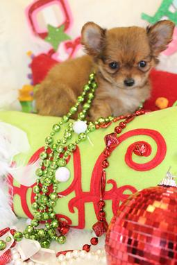 Chihuahuas For Sale, Chihuahua Puppies For Sale, Chihuahua Breeders, Chihuahua puppies for sale Florida, Teacup Chihuahuas For Sale Teacups and Toys , Teacup Chihuahuas