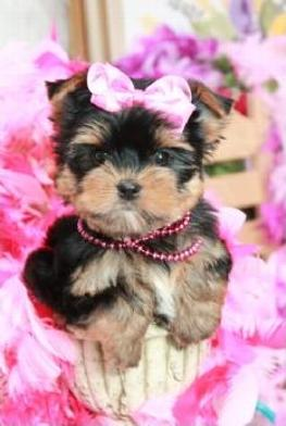 TEACUP YORKIE, TEACUP PUPPIES, TEACUP PUPPIES FOR SALE