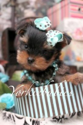 TEACUP YORKIES FOR SALE IN THE FORT LAUDERDALE, FLORIDA AREA