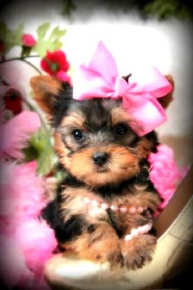 YORKIE PUPPIES FOR SALE IN FLORIDA