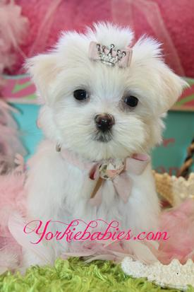 YORKIEBABIES.COM ELEGANT MALTESE PUPPIES FOR SALE