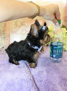YORKIEBABIES.COM  SEE THE BEST TEACUP YORKIES