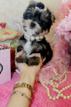 TEACUP MORKIE PUPPIES YORKIEBABIES.COM