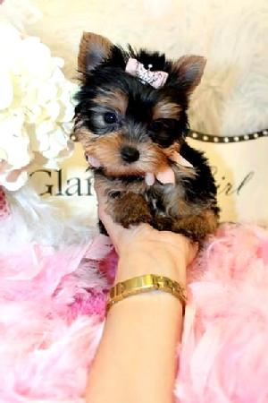 YORKIEBABIES.COM  ELEGANT TEACUP YORKIES.  OUR YORKIES COME WITH A ONE YEAR HEALTH GUARANTEE. 2 SETS OF SHOTS, VET CERTIFIED HEALTH CERTIFICATE AND ARE ALSO ALREADY PAPER TRAINED.  WHEN SEEKING THE BEST CALL YORKIEBABIES.COM