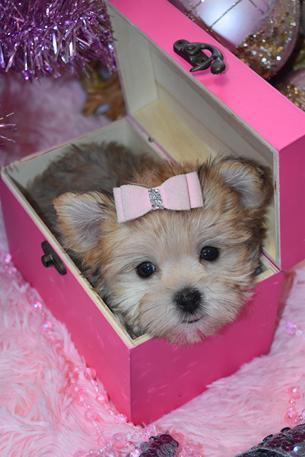 Morkie Teacup Morkie Morkie Puppies For Sale Maltipoo Malshi
