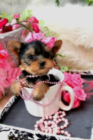 YORKIES FOR SALE, YORKIES FOR SALE IN FLORIDA, TEACUP YORKIES FOR SALE IN FLORIDA, TEACUP PUPPIES FOR SALE IN FLORIDA