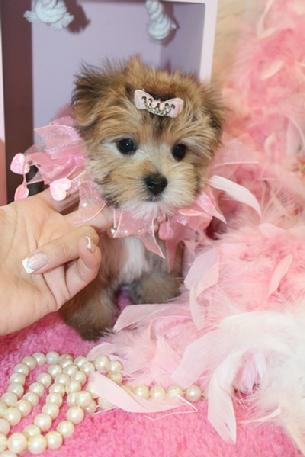 MORKIES FOR SALE YORKIEBABIES.COM