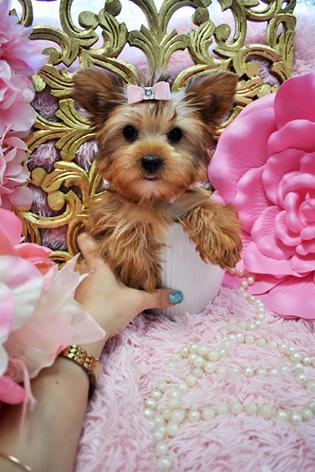 Golden Ginger 2200 Stunning Female Yorkie Coloring And Features Round Babydoll Face Thick Coat Short On Nose