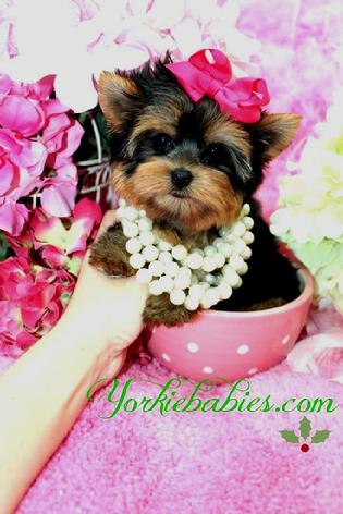 YORKIEBABIES.COM TEACUP YORKIE PUPPIES
