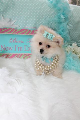 Elegant Teacup Pomeranians Pomeranian Puppies For Sale Classy