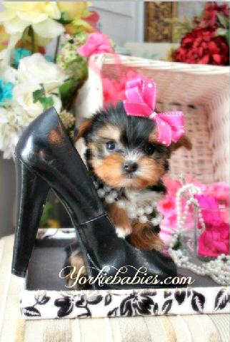 YORKIEBABIES.COM TEACUP YORKIE, TEACUP YORKIES, TEACUP YORKIE PUPPIES, TEACUP YORKIES FOR SALE