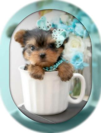 Teacup Yorkie Teacup Yorkies Yorkies For Sale Micro Teacup
