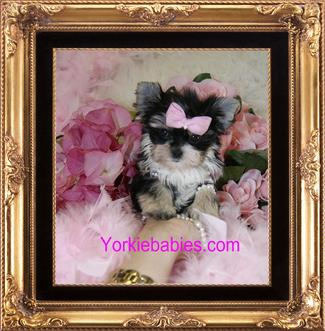 Morkie Teacup Morkie Morkie Puppies For Sale Maltipoo Malshi