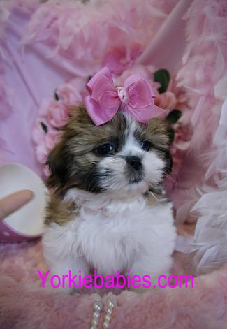 Shih Tzu for Sale, Teacup Shih Tzu, Shih Tzu Breeds, Shihtzu for Sale, Teacup Puppies.