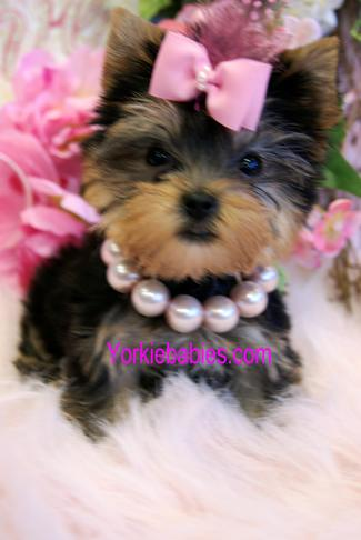 TEACUP YORKIE, YORKIE FOR SALE, TEACUP PUPPIES YORKIEBABIES.COM