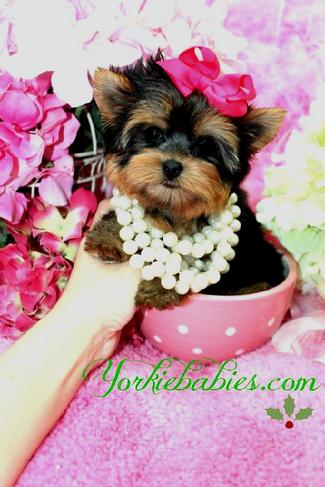 TEACUP YORKIES AT YORKIEBABIES.COM, BEST TEACUP YORKIE PUPPIES, TINY YORKIE PUPPIES