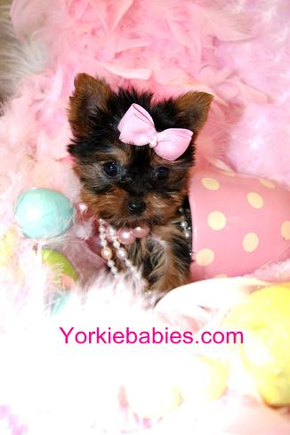 TEACUP YORKIE PUPPIES YORKIEBABIES.COM