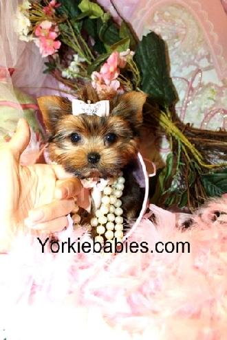 Teacup Yorkie, Teacup Yorkie Puppy, Yorkies for sale, Yorkie For Sale, Yorkie Puppy for Sale, Yorkshire Terrier, Teacup Yorkie for sale, Teacup Yorkies South Florida.
