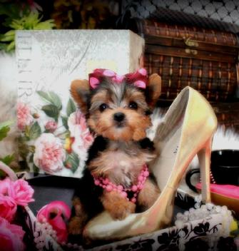 TEACUP YORKIES FOR SALE IN SOUTH FLORIDA