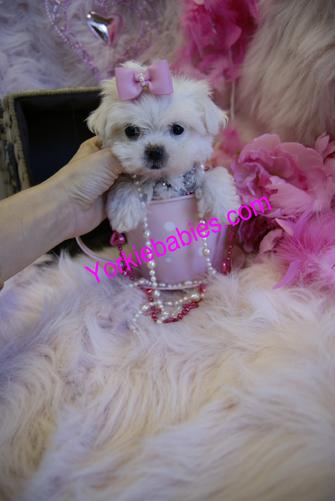 MALTESE PUPPIES YORKIEBABIES.COM