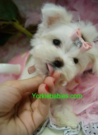 Elegant Teacup Maltese Puppies Yorkiebabies.com