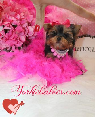 TEACUP YORKIE AT YORKIEBABIES.COM