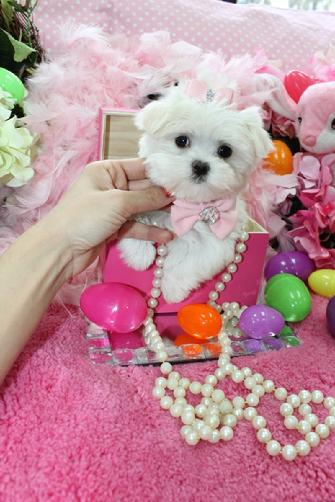Yorkiebabies.com Elegant Teacup Maltese, maltese puppies, teacup maltese for sale