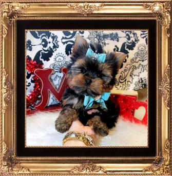 YORKIEBABIES.COM ELEGANT TEACUP YORKIES IN FLORIDA