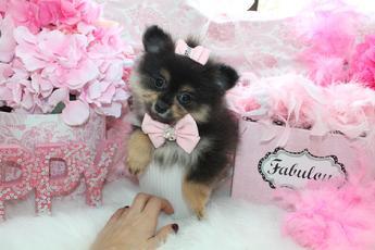 Elegant Teacup Pomeranians Pomeranian Puppies For Sale Classy