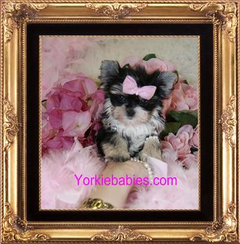 Teacup Puppies For Sale Teacup Puppies Miami Teacup Puppies For