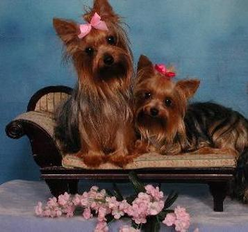 Elegant Yorkies that Will Melt Your Heart.  Yorkiebabies.com   Yorkie, Yorkie Puppies, Yorkies, Yorkie Teacups, Teacup Yorkies, Yorkshire Terrier, Yorkshire Terriers, Yorkshire Terrier Puppies, Yorky, Teacup Yorkies, Yorkie Puppies, Yorkie Training, Yorkies For Sale, Yorkie For Sale, Yorkie Puppies for Sale, Teacup Puppies, Teacup Puppies for Sale.  Toy Yorkie, AKC Yorkshire Terrier, Yorkie Photos, Yorkie Breeder, Yorkie Breeder Florida, Florida Yorkie Breeder.  AKC Yorkshire Terrier Puppies, Yorkies Florida, Yorkie Puppies Florida.