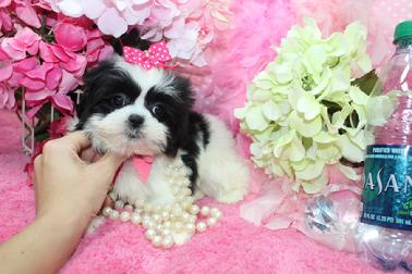 SHIH TZU PUPPIES, IMPERIAL SHIH TZU PUPPIES, SHIH TZU PUPPIES IN FLORIDA