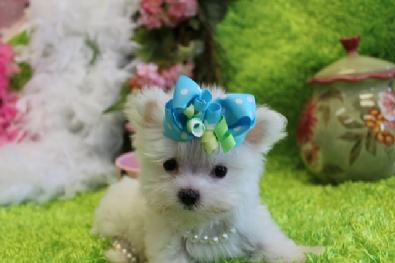 ELEGANT MALTESE PUPPIES, TEACUP MALTESE, MICRO MALTESE PUPPIES FOR SALE AT YORKIEBABIES.COM