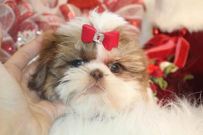 SHIH TZU, SHIH TZU PUPPIES, PUPPIES FOR SALE, SHI HTZU TECUPS, TEACUP SHIH TZU, FLORIDA PUPPIES, FLORIDA PUPPY, SHIH TZU FLORIDA