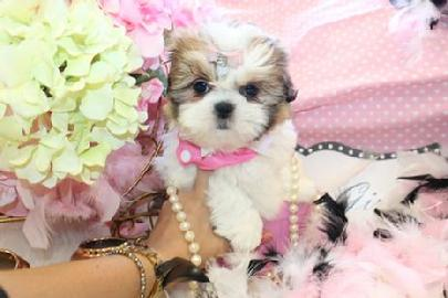 SHIH TZU PUPPIES FOR SALE AT YORKIEBABIES.COM