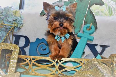 yorkies,yorkie,yorkiepuppies,puppies,yorkshire terrier