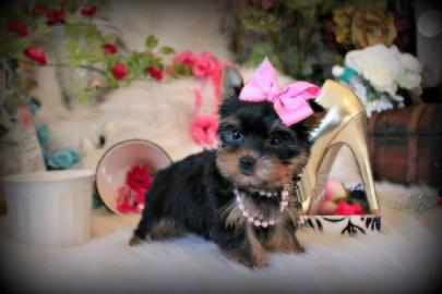 ELEGANT TEACUP YORKIES AT YORKIEBABIES.COM