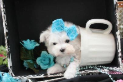ELEGANT TEACUP MALTESE PUPPIES FOR SALE IN FLORIDA YORKIEBABIES.COM