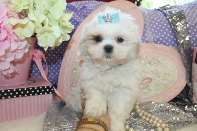 YORKIEBABIES.COM WHITE SHIH TZUS, SHIH TZU PUPPIES, TINY SHIH TZUS, IMPERIAL SHIH TZUS, FLORIDA SHIH TZU PUPPIES FOR SALE