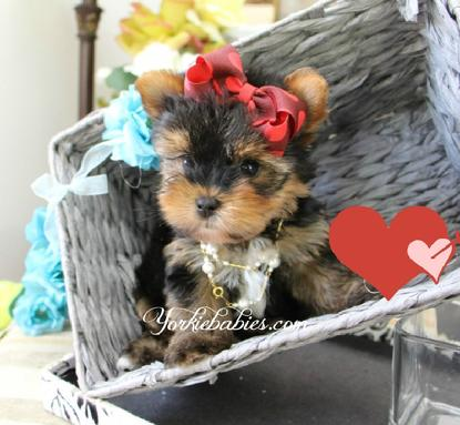 YORKIEBAIES.COM TEACUP YORKIE PUPPIES
