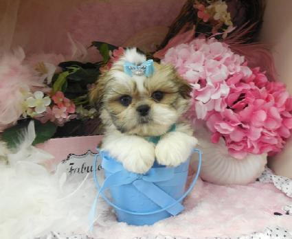 teacup shih tzu for sale shih tzu puppies teacup shih tzu shih tzu for sale 3871
