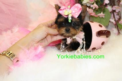 TEACUP YORKIE FOR SALE YORKIEBABIES.COM